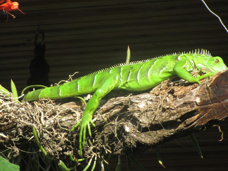 Immature Green Iguana basking in the sun